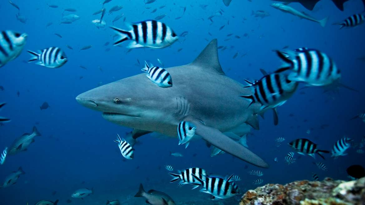 Things you didn't know about Bull Sharks